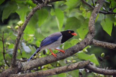 Huangshan Mountain Red-billed Blue Magpie