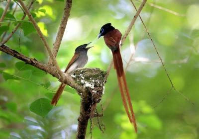 Huangshan Paradise Flycatchers
